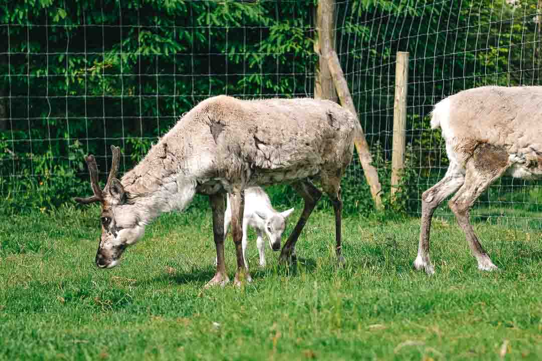 baby reindeer at Gower Fresh Christmas Trees