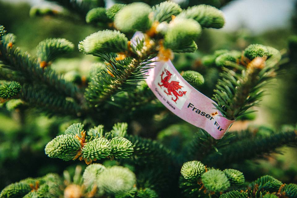 Fraser Fir Christmas tree- Premium quality trees at Gower Fresh Christmas Trees