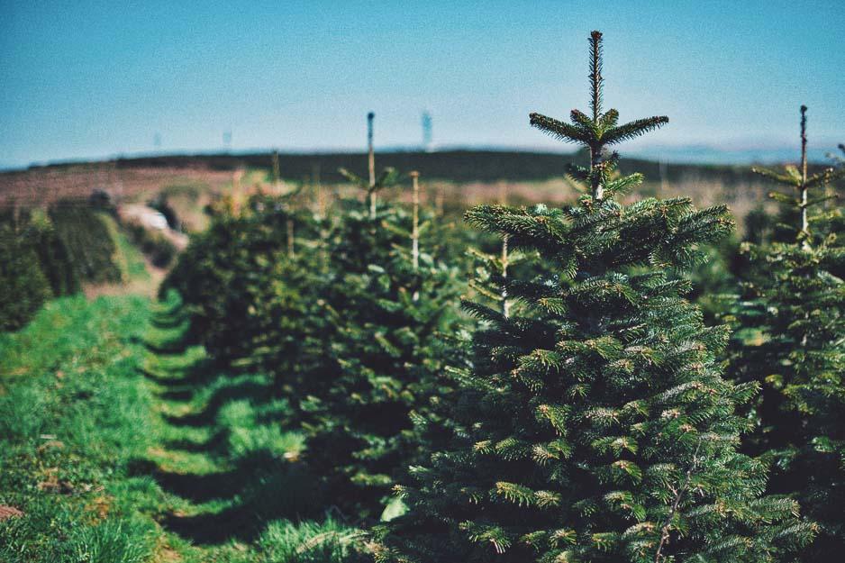 Gower Fresh Christmas Trees Farm in Swansea