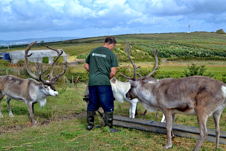 Robert Morgan feeding the reindeer at Gower Fresh Christmas Trees Farm
