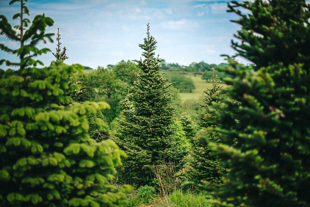 large Christmas Trees at Gower Fresh Christmas Trees farm