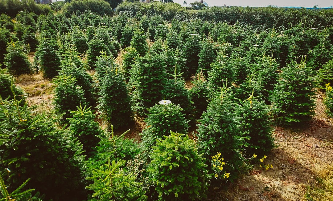 Wholesale Christmas Trees in Wales at Gower Fresh Christmas Trees Farm