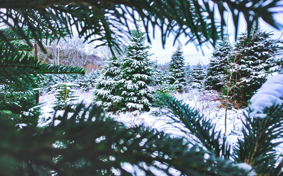 Christmas trees covered in snow-Gower Fresh Christmas Trees farm