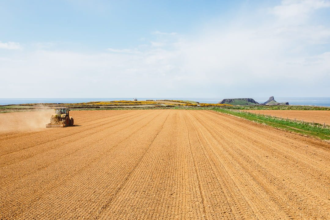 sunflower fields in Rhossilli, Gower
