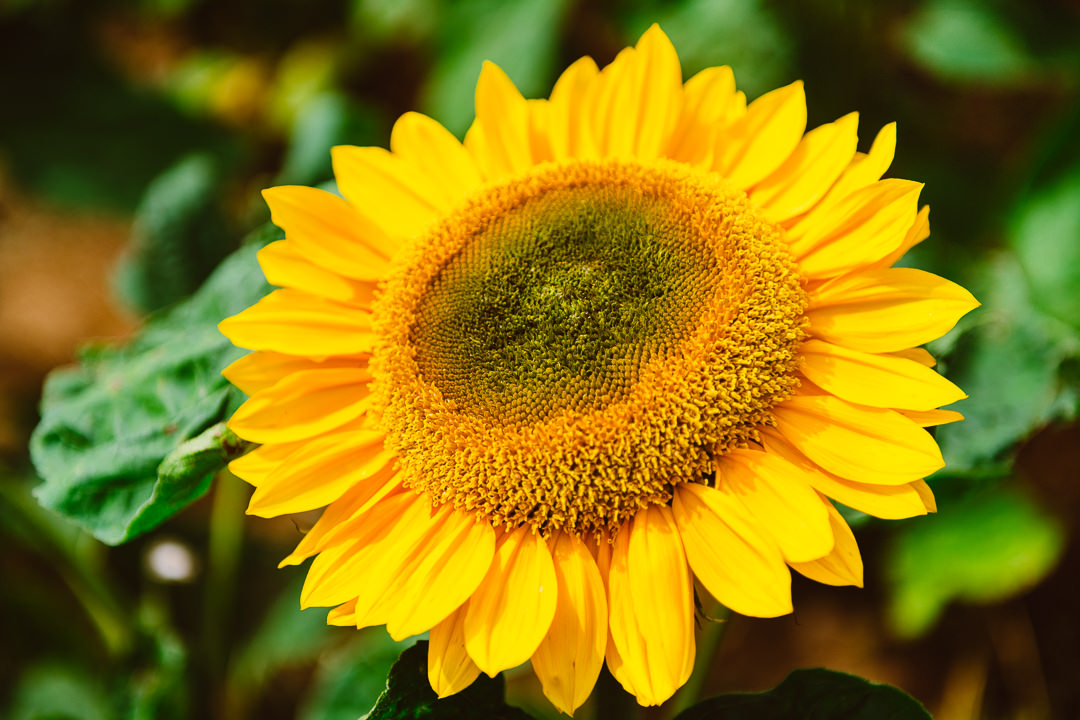 Rhossili Sunflowers-Gower Fresh Christmas Trees-10