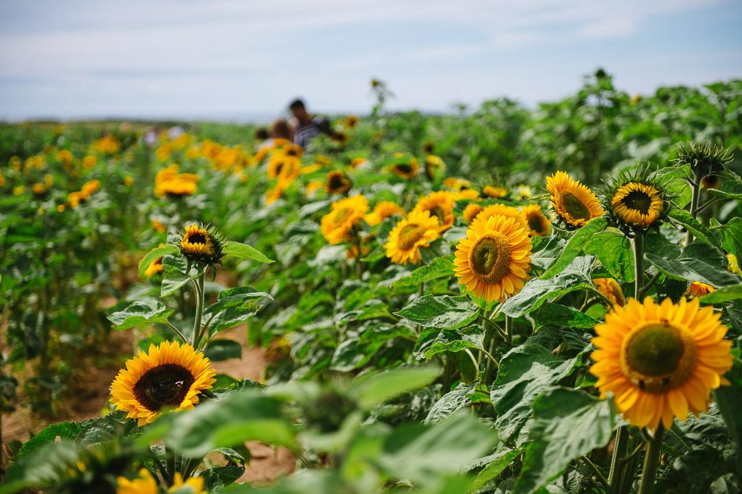 Rhossili Sunflowers-Gower Fresh Christmas Trees-11