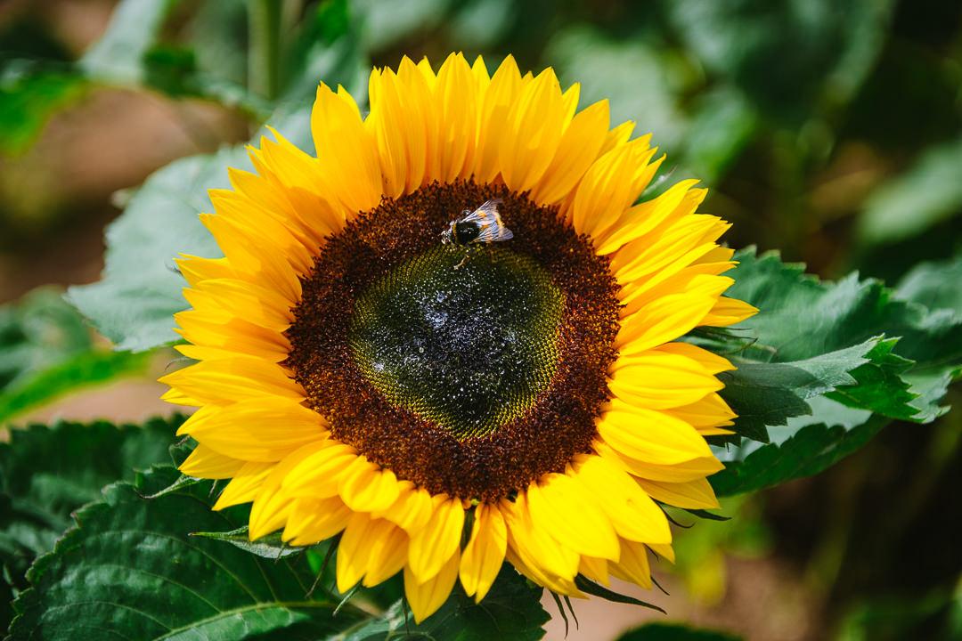 Rhossili Sunflowers-Gower Fresh Christmas Trees-12