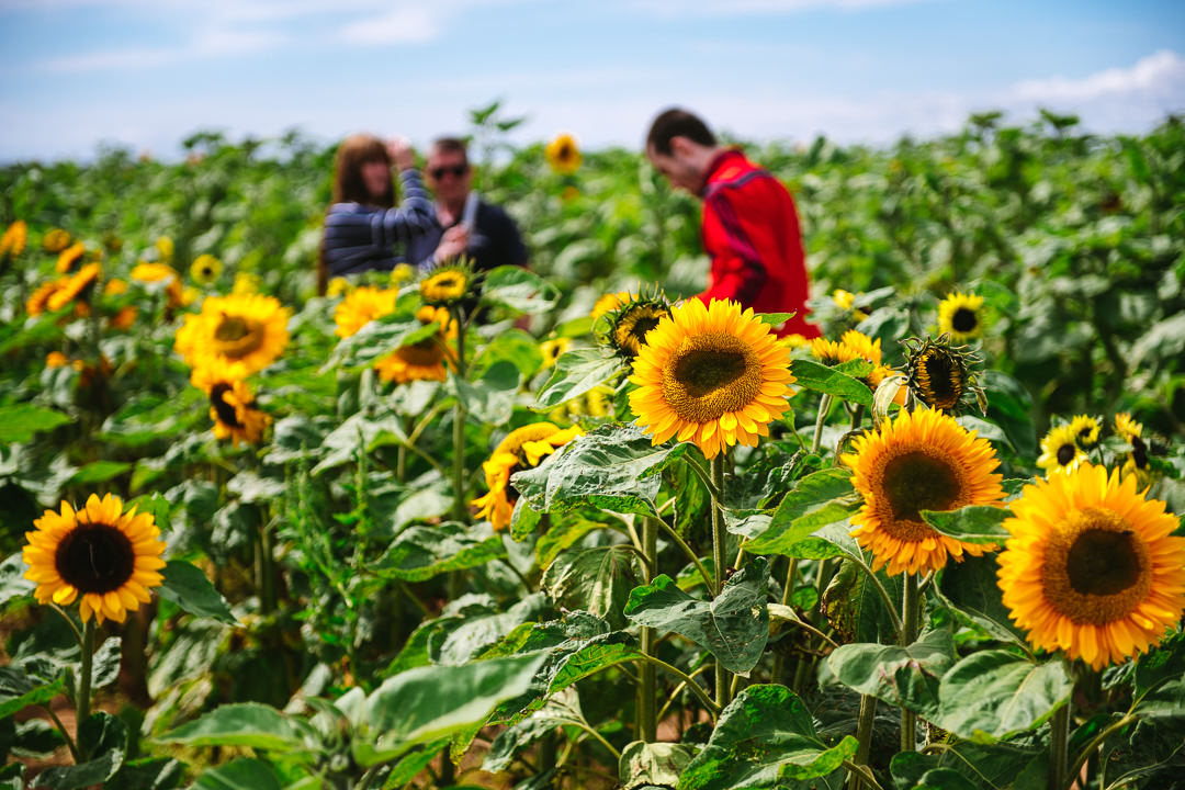 Rhossili Sunflowers-Gower Fresh Christmas Trees-14