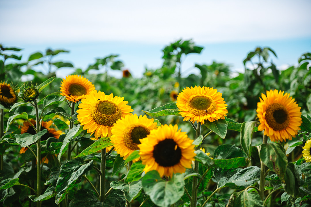 Rhossili Sunflowers-Gower Fresh Christmas Trees-15
