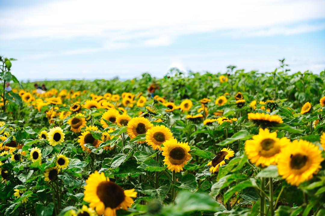 Rhossili Sunflowers-Gower Fresh Christmas Trees-16