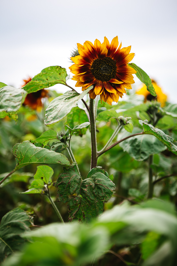 Rhossili Sunflowers-Gower Fresh Christmas Trees-19