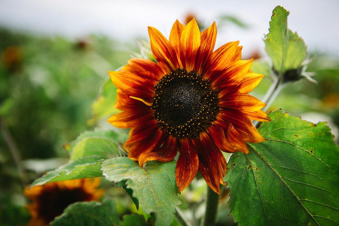 Rhossili Sunflowers-Gower Fresh Christmas Trees-21