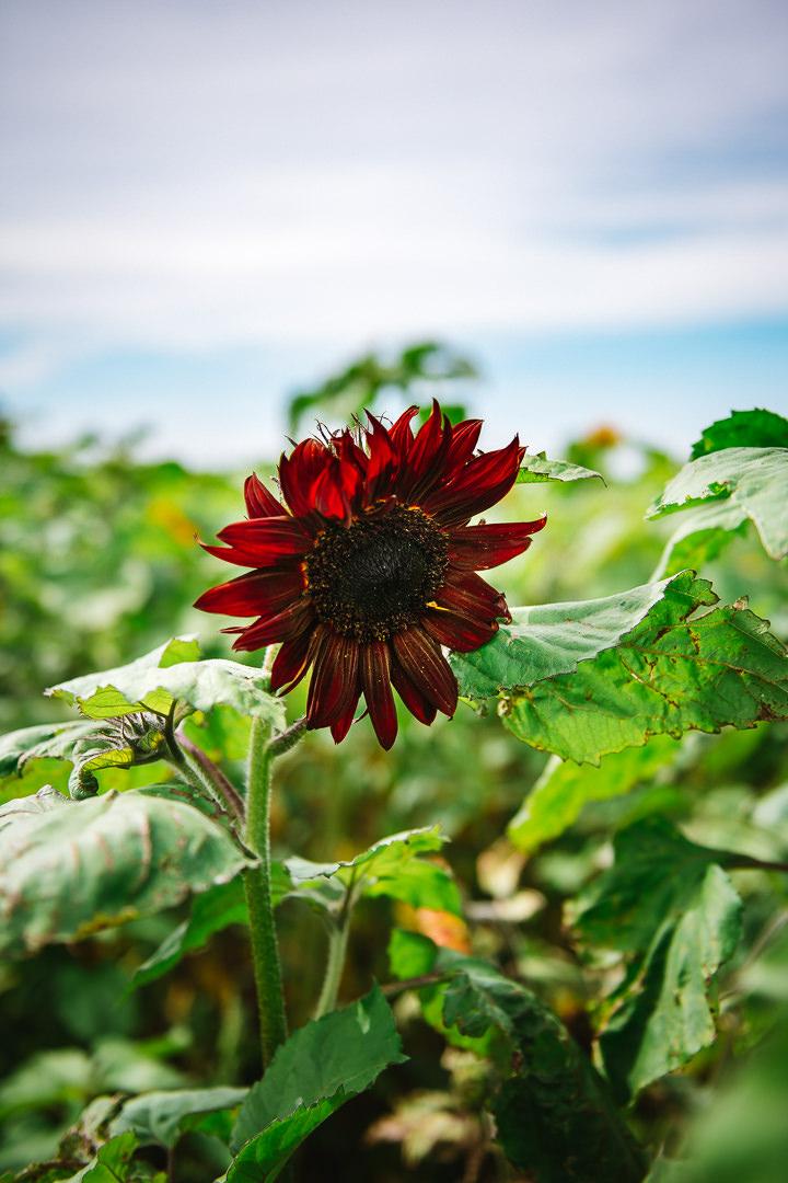 Rhossili Sunflowers-Gower Fresh Christmas Trees-23