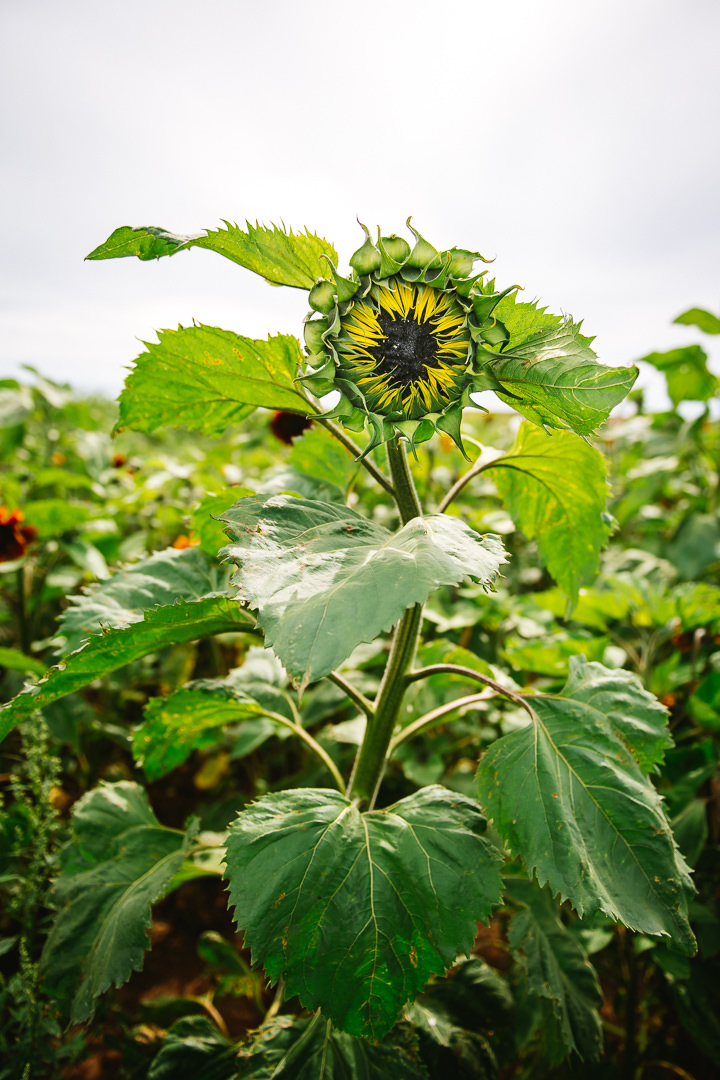 Rhossili Sunflowers-Gower Fresh Christmas Trees-24