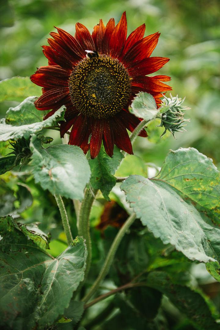 Rhossili Sunflowers-Gower Fresh Christmas Trees-25