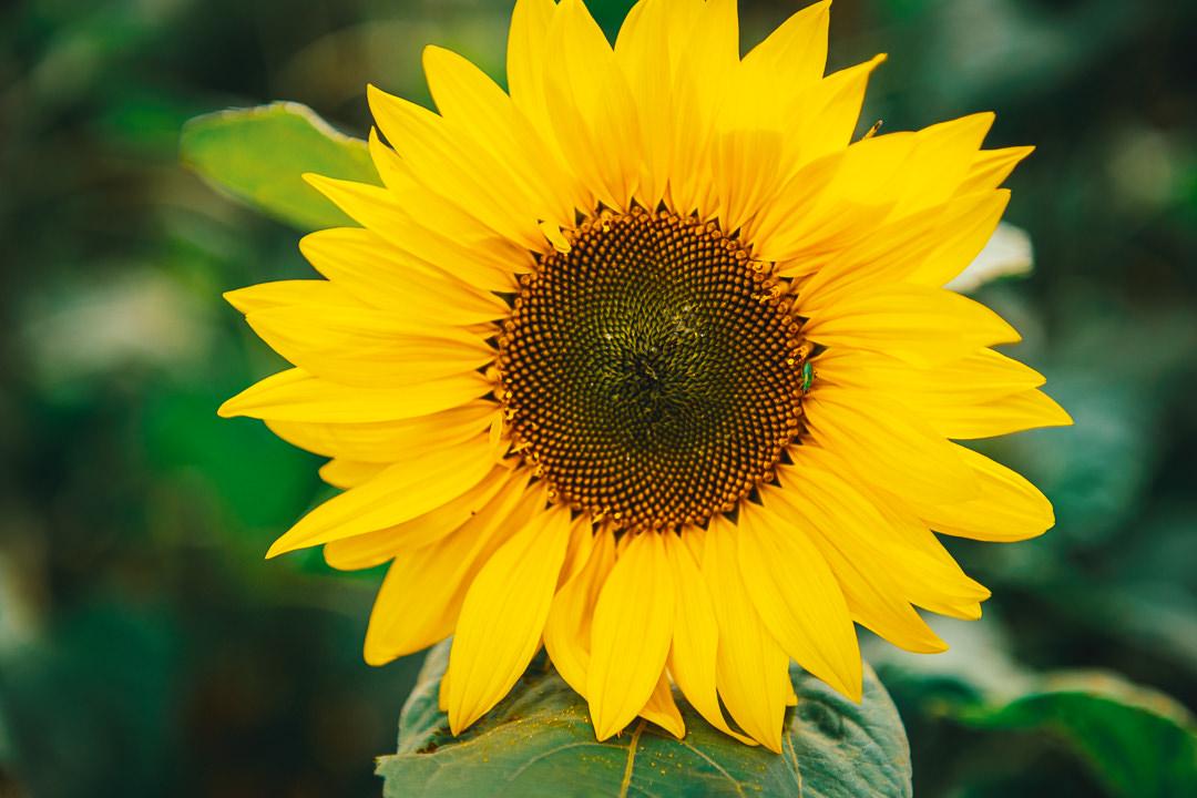Rhossili Sunflowers-Gower Fresh Christmas Trees-26