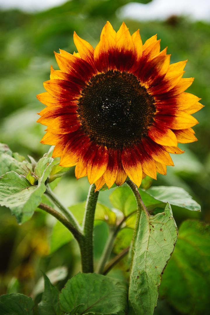 Rhossili Sunflowers-Gower Fresh Christmas Trees-27