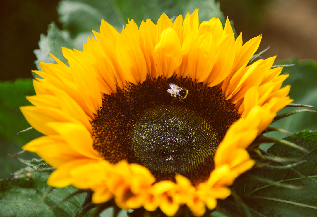 Rhossili Sunflowers-Gower Fresh Christmas Trees-9
